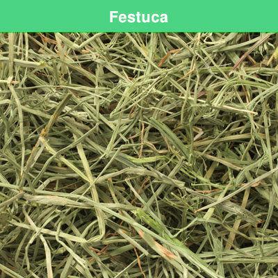 Festuca